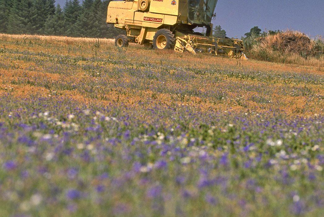 Récolte lentille verte du Puy