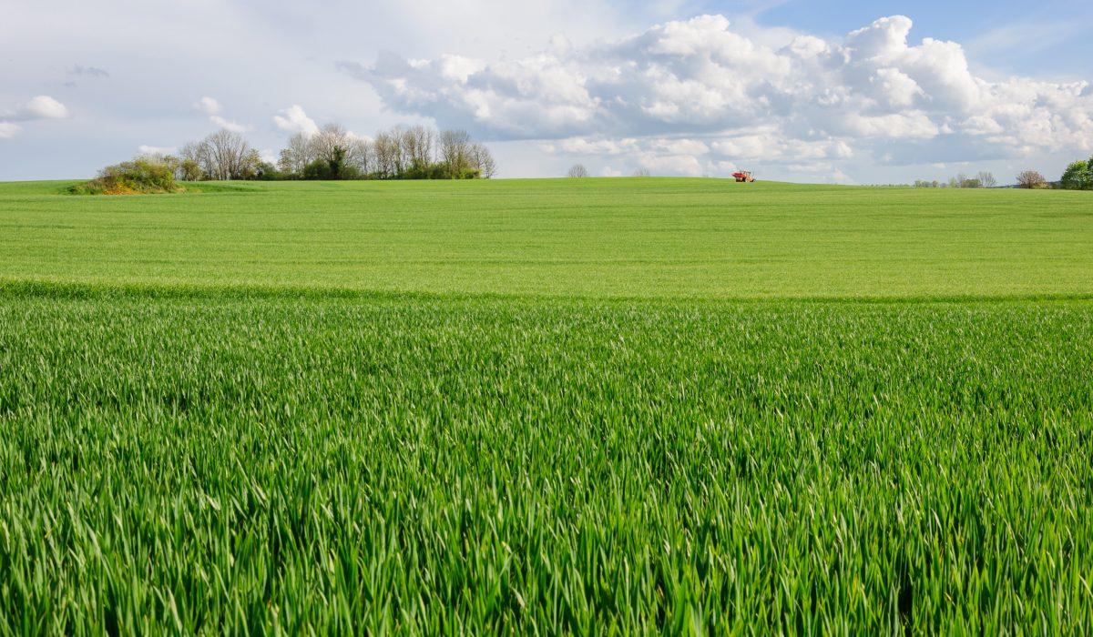 Champ de blé en Côte d'Or, Bourgogne, France.